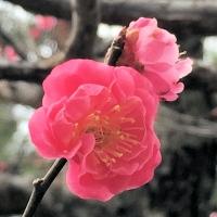 金沢から花便り 梅と桜がもしかしたら・・ 春の兼六園