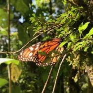 蝶の聖地 in Mexico