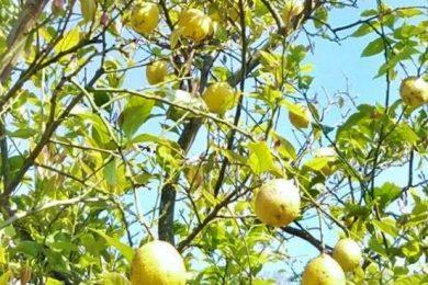 """""""自然栽培レモン""""を丸ごと使った、アムリターラの限定アイテム"""